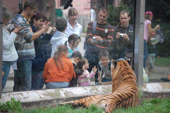nowy wybieg dla tygrysa